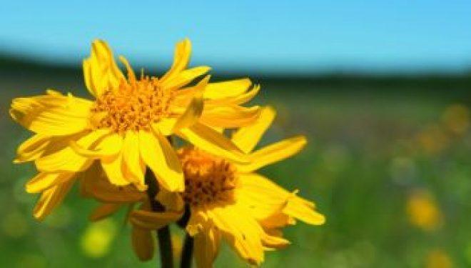 Arnica montana, povestea unei margarete-minune în numeroase tratamente