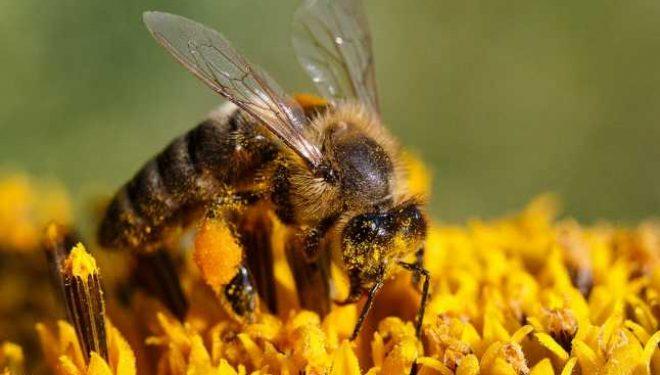 Beneficiile polenului – Ajută la insomnie